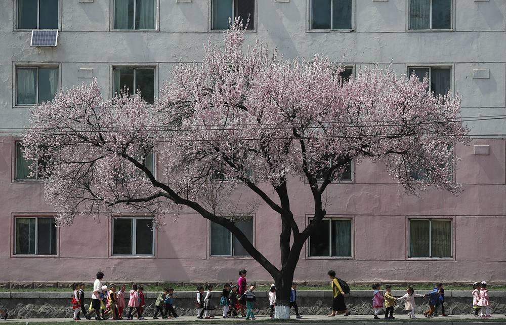 В этом году День Солнца совпал по времени с началом цветения сакуры в Пхеньяне