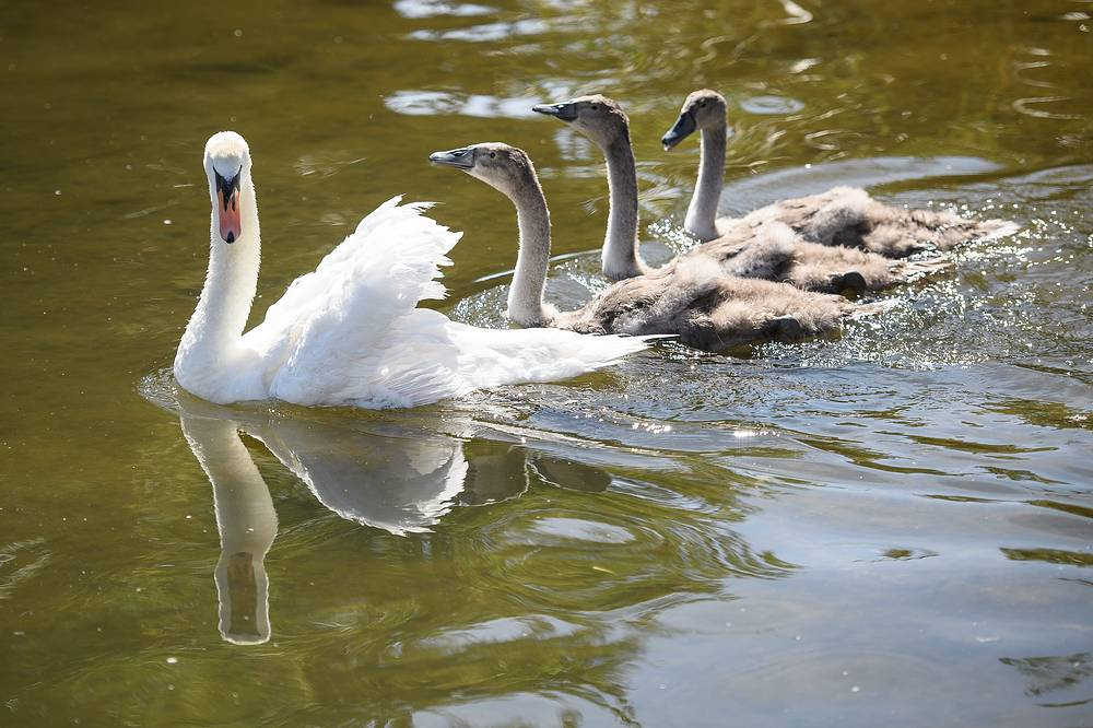 Под инвентаризацию попадают как взрослые особи, так и молодые птицы