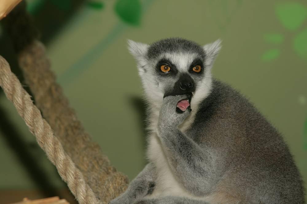 В зоопарке лемуры питаются фруктами, соком, кашами, вареным мясом и рыбой