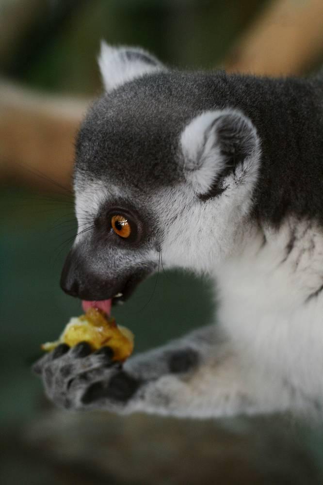 Этот вид обезьян занесен в Международную красную книгу