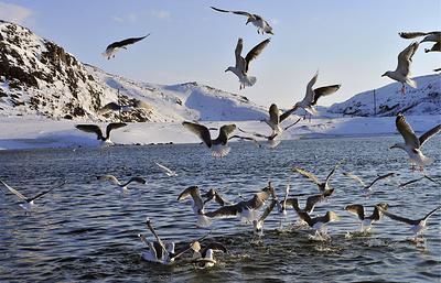 Эксперт: мониторинг птиц в Баренцевом море поможет следить за изменениями климата Арктики