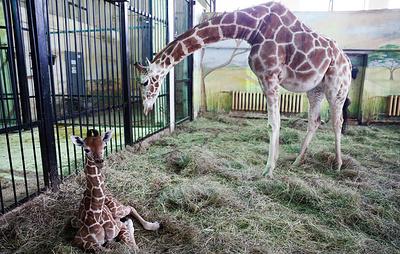 Молодой жираф из калининградского зоопарка переехал в Белгород