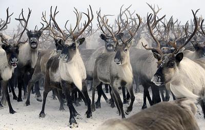 Тюменские ученые изучат популяцию северных оленей на острове Белый в Карском море