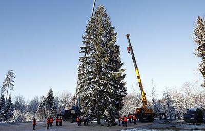 Главную новогоднюю ель страны срубили в Щелковском районе Подмосковья