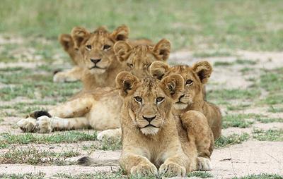 Ученые подсчитали численность львов в Африке