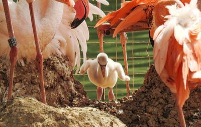Популяция фламинго в московском зоопарке достигла 46 особей
