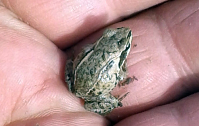 Остромордую лягушку впервые сфотографировали на Таймыре