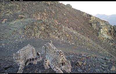 Пять снежных барсов попали в объективы камер участников экспедиции на Алтае