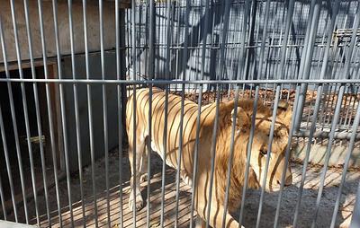 Лигр Благ из Приморского Сафари-парка оказался лилигром