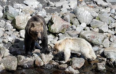 """В заповеднике """"Курильский"""" ученые обнаружили детеныша бурого медведя серебристого окраса"""
