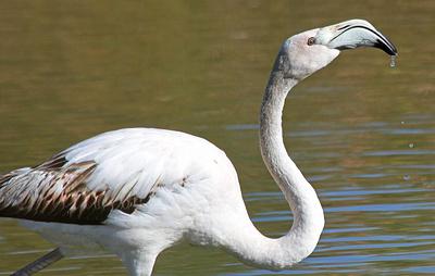 Жители Якутии обнаружили на озере фламинго