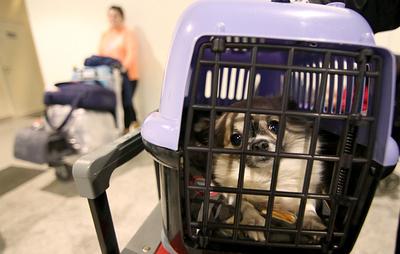 Минтранс подготовит предложения по изменению правил авиаперевозки животных
