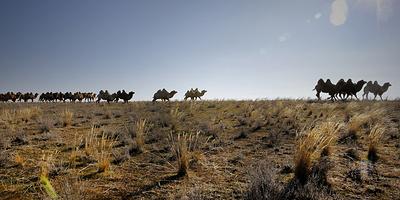 """Корабли степи. Как """"боевых верблюдов"""" в Калмыкии используют в мирных целях"""