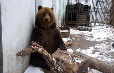 В омском зоопарке из-за аномальной оттепели проснулись бурые медведи