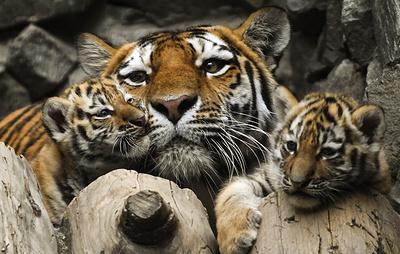 Амурская тигрица, отправленная в Японию из Новосибирска, родила детенышей