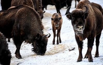 Экологи ожидают увеличение поголовья бизонов в Якутии на 36% в 2020 году