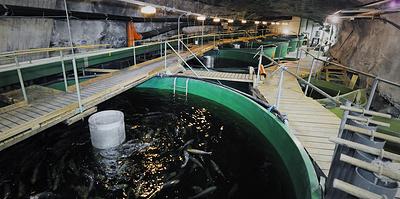Форель на 50-метровой глубине. Почему рыбное хозяйство устроили внутри горы