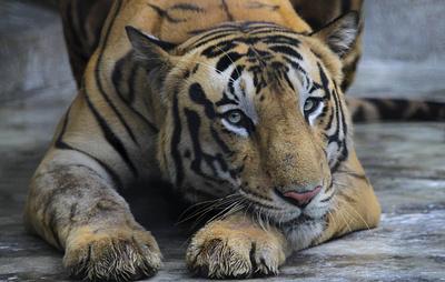 В зоопарке Нью-Йорка выявили коронавирус у тигрицы