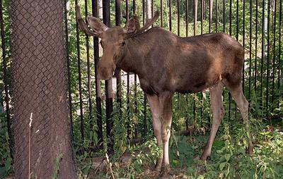 Новосибирский зоопарк запустил программу по выпуску лосей в дикую природу