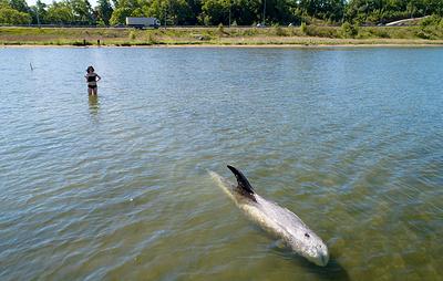 Во Владивостоке спасли застрявшего на мелководье краснокнижного дельфина