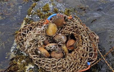 Компания в Приморье в течение двух лет планирует собрать около 100 тонн гребешка