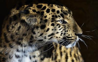Искусственный интеллект поможет находить дальневосточных леопардов на снимках фотоловушек