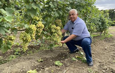 Глава агрохолдинга в Дагестане: закладка виноградников – это как капитальное строительство
