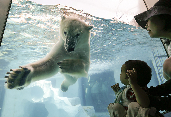 Although most polar bears are born on land, they spend most of their time at sea. Photo: A polar bear in the pool at Ueno Zoo in Tokyo, Japan