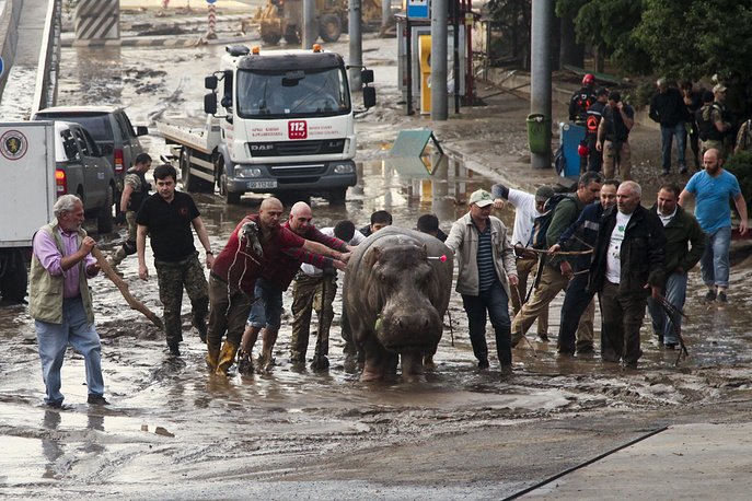 People assisting a hippopotamus that has been shot with a tranquilizer dart after it escaped from a flooded zoo. Tigers, lions, a hippopotamus and other animals have escaped from the zoo in Georgia's capital after heavy flooding destroyed their enclosures