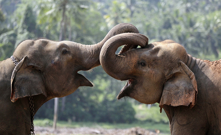 Elephant Appreciation Day is observed every year on September 22. Photo: Elephant calves playing at an elephant orphanage in Pinnawala, Sri Lanka
