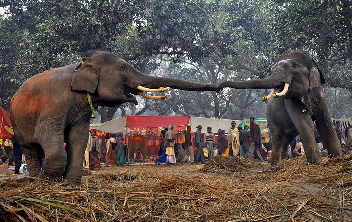 Elephants' large ear flaps help to control their body temperature
