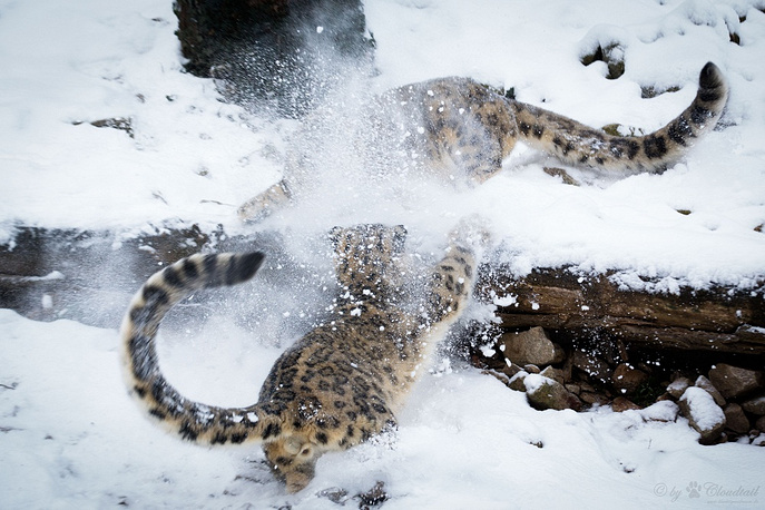 Snow leopard, a large cat native to the mountain ranges of Central and South Asia is listed as endangered on the IUCN Red List of Threatened Species
