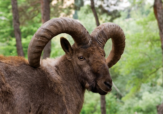 West Caucasian tur is a mountain-dwelling goat-antelope found only in the western half of the Caucasus Mountains range. They live in rough mountainous terrain between 800 and 4,000 m above sea level