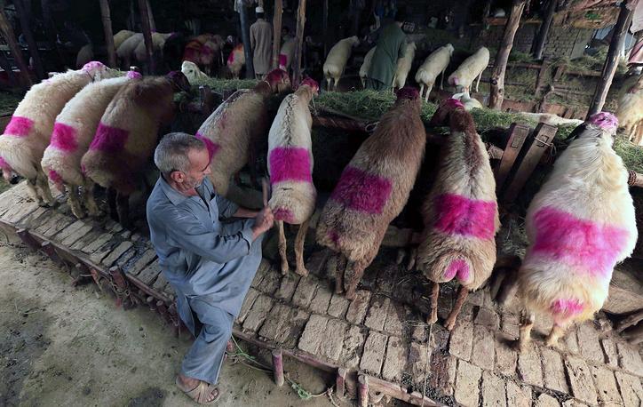 Sheep on sale at a market ahead of the Eid al-Adha festival in Peshawar, Pakistan