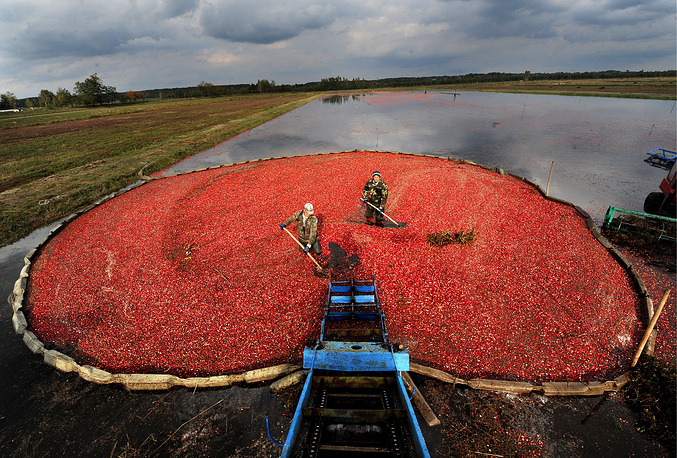 Collecting cranberries in a field of the Polesskiye Zhuraviny farm, Belarus, October 8