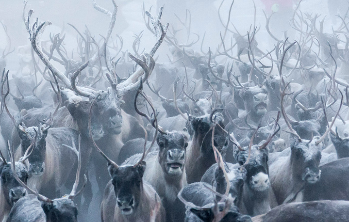 Kharp reindeer farm in the village of Krasnoye, Nenets Autonomous area, November 24