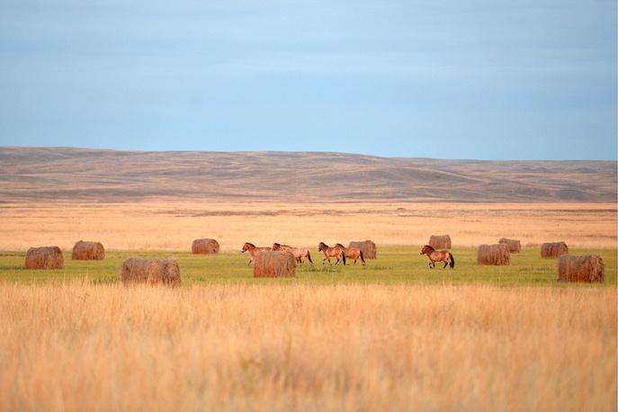 Przewalski's horses at the Orenburgsky nature reserve