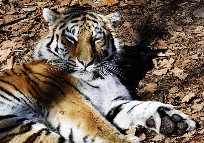 A Siberian tiger named Taiga