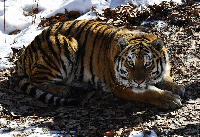 Amur the tiger