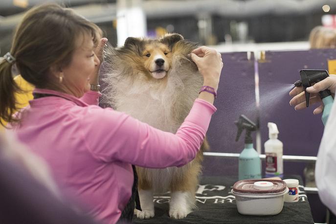 Turner, a Shetland sheepdog