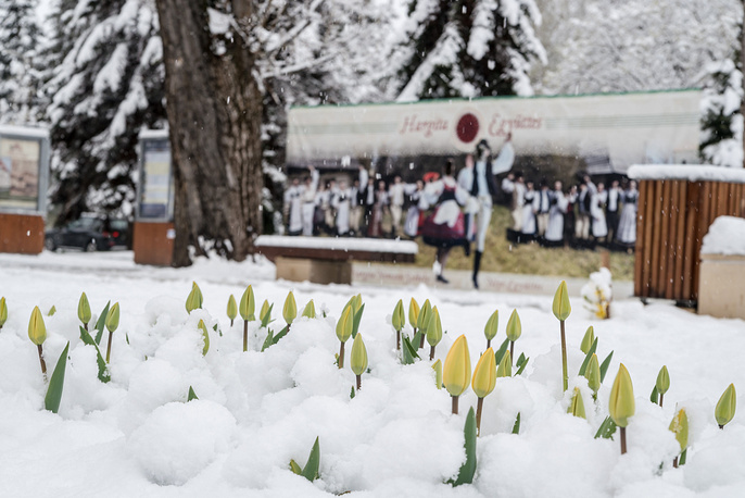 Blossoming tulips rise above snow in Miercurea Ciuc, Romania, April 20