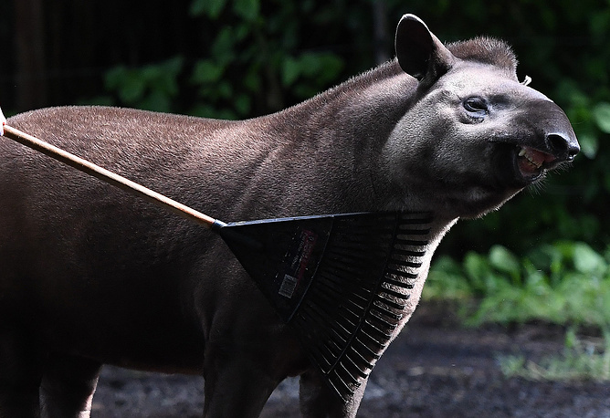 Zoo Keeper uses rake to give a Brazilian Tapir Arturo a massage at the Melbourne Zoo, Australia, April 27
