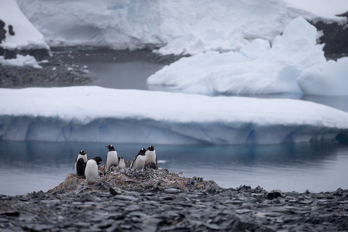 Gentoo penguins standing on rocks near the Chilean station Bernardo O'Higgins, Antarctica. A scientific study in 2016 said that an estimated 150,000 Adelie penguins died in Cape Denison, Antarctica in the five years since a giant iceberg blocked their main access to food