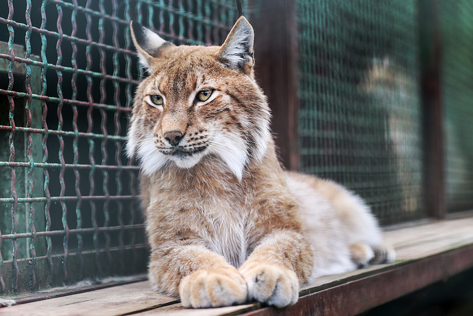 Moscow Zoo's Center for Rare Animal Species Reproduction was established in 1996 in order to provide for the zoo an opportunity to breed various, and predominantly rare species of animals. Photo: A Eurasian lynx