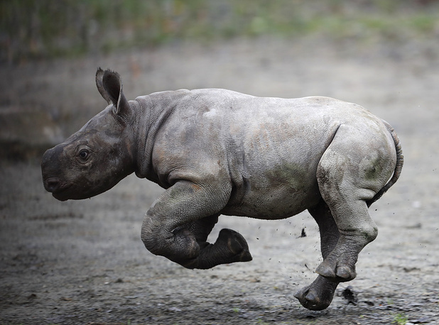 A newly born eastern black rhino runs in its enclosure at the zoo in Dvur Kralove, Czech Republic, October 25
