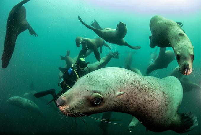 Steller sea lions swim in the Zheleznaya Bay of the Avacha Gulf southward of the Kamchatka Peninsula, July 21
