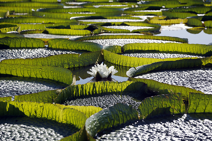 Hundreds of Victoria Cruziana plants, water lilies that grow up to 2 meters wide, float over the Salado river water in Piquete Cue, on Asuncion's outskirts, Paraguay, January 7
