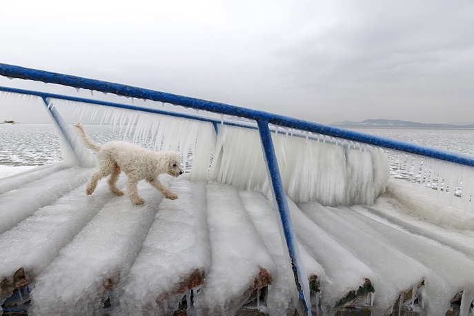 A dog walks on ice covering a stair normally used by bathers to enter and leave the water on the shore of Lake Balaton in Fonyod, 148 kms southwest of Budapest, Hungary