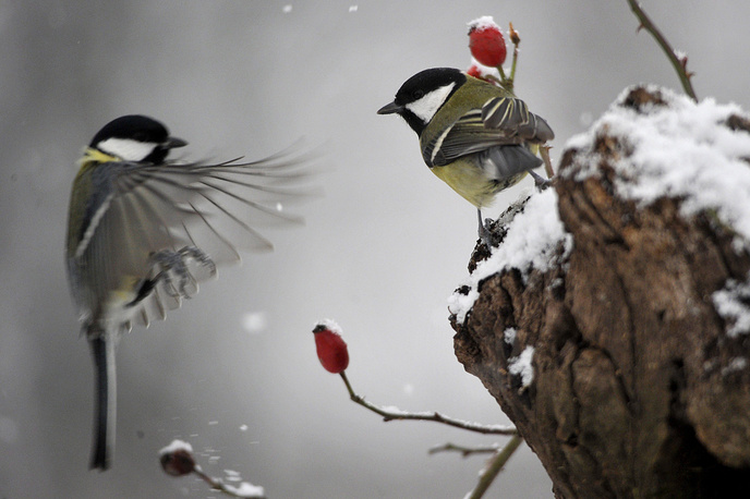 Great tits (Parus major) are spotted near Pomaz, 23 kms north of Budapest, Hungary, February 27