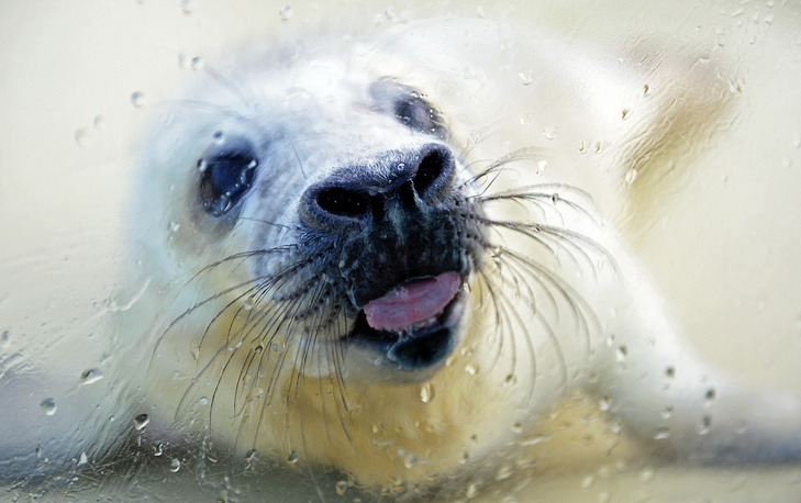 A seal pup licks a window at the seal enclosure in Friedrichskoog, Germany